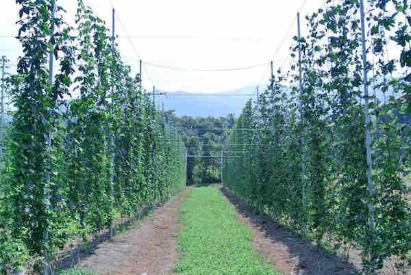 ホップ畑の様子。ホップのつるが巻き付いて、きれいに上に伸びている